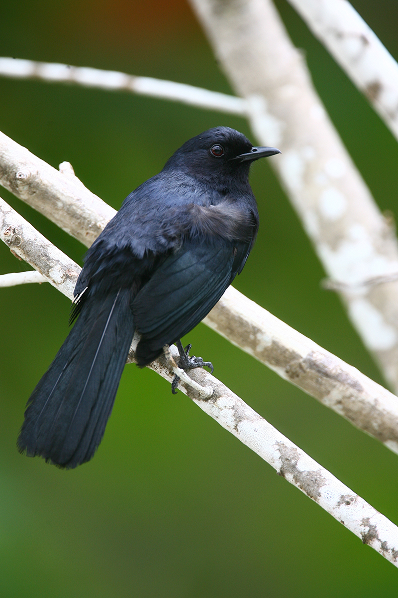 BLACK CATBIRD - BELIZE