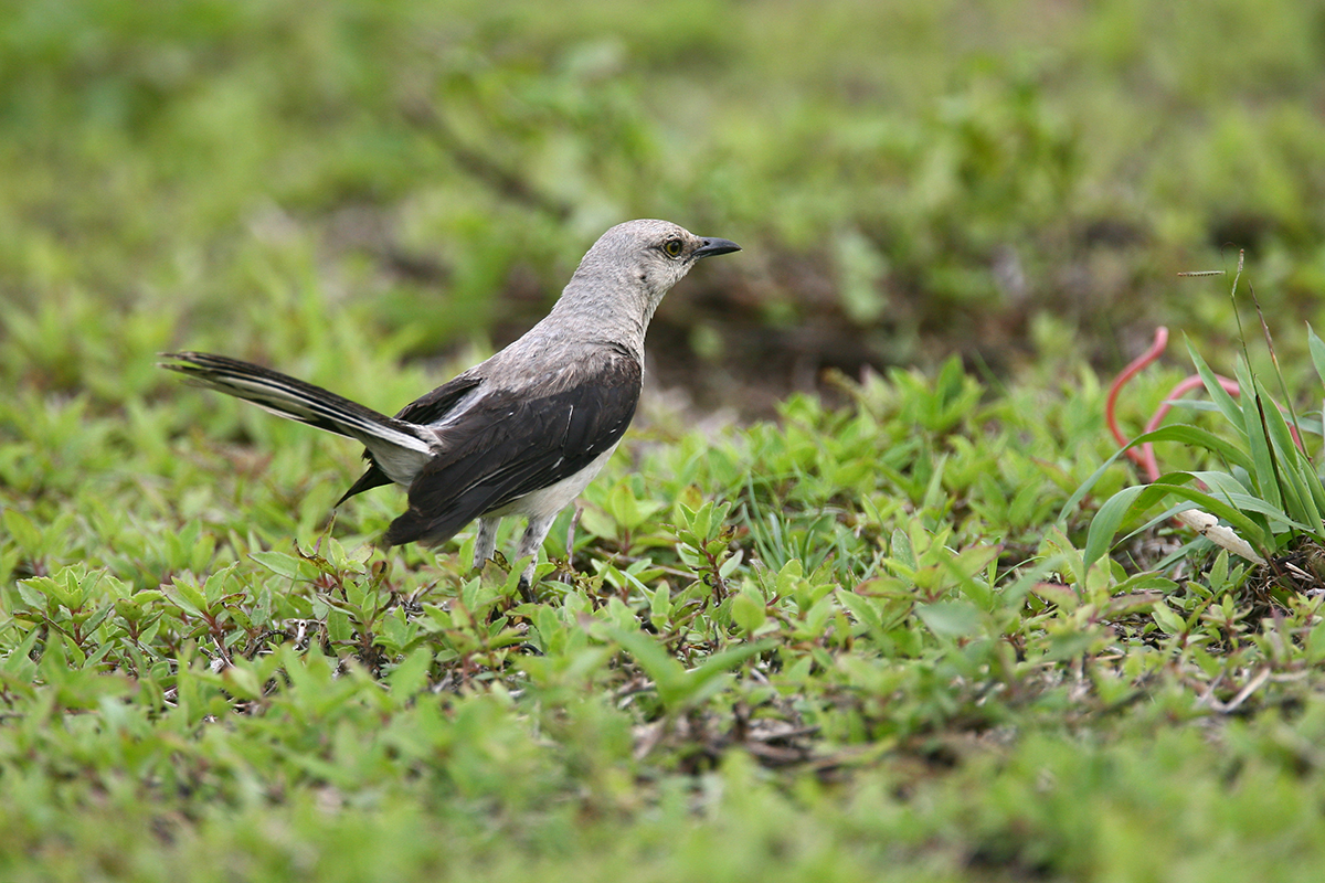 TROPICAL MOCKINGBIRD - BELIZE
