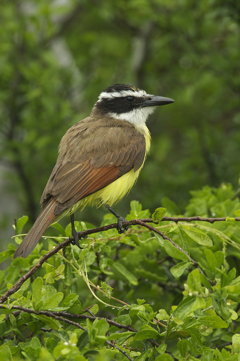 GREAT KISKADEE - HIDALGO COUNTY TX