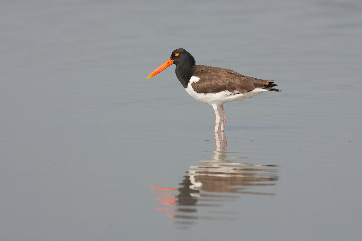 AMERICAN OYSTERCATCHER - GALVESTON COUNTY TX