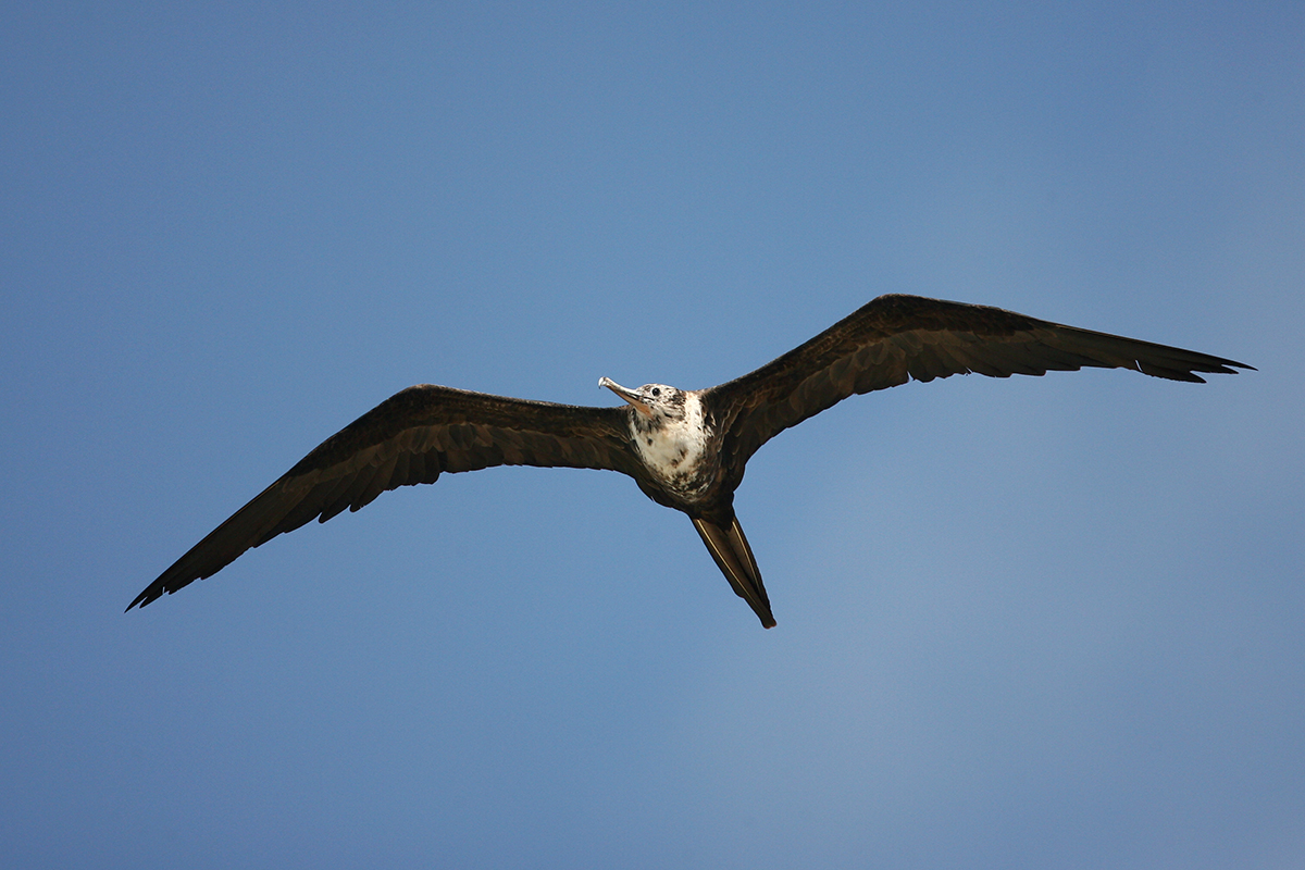 MAGNIFICENT FRIGATEBIRD - BELIZE