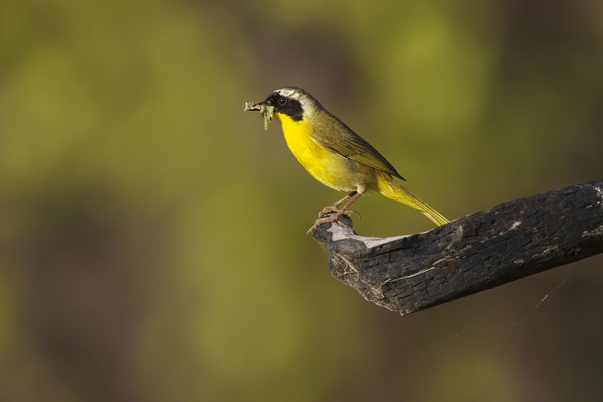 COMMON YELLOWTHROAT - BREWSTER COUNTY TX