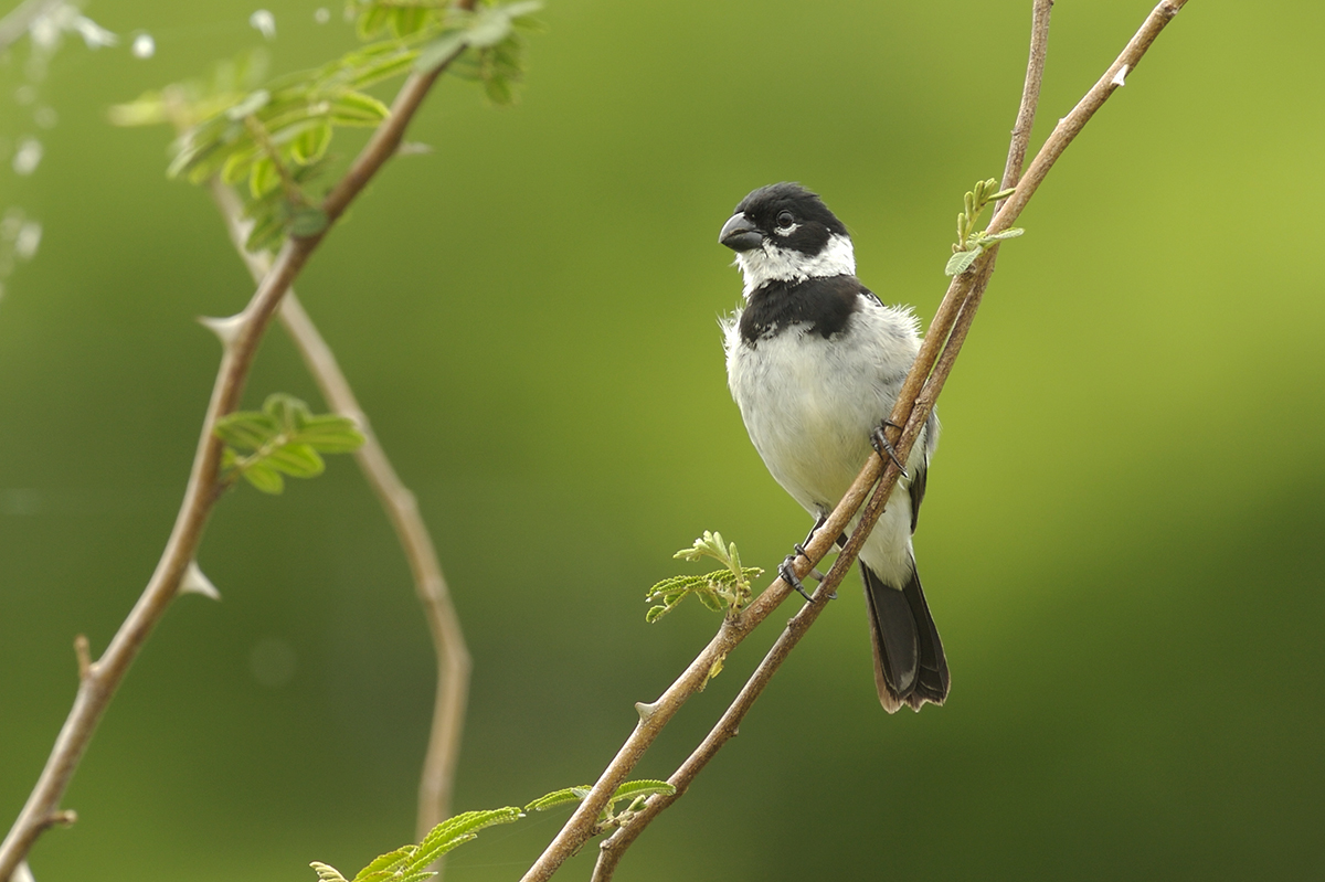 WHITE-COLLARED SEEDEATER - BELIZE