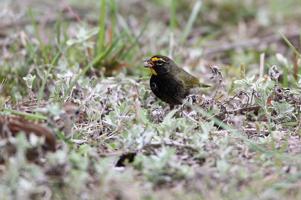YELLOW-FACED GRASSQUIT - ARANSAS COUNTY TX