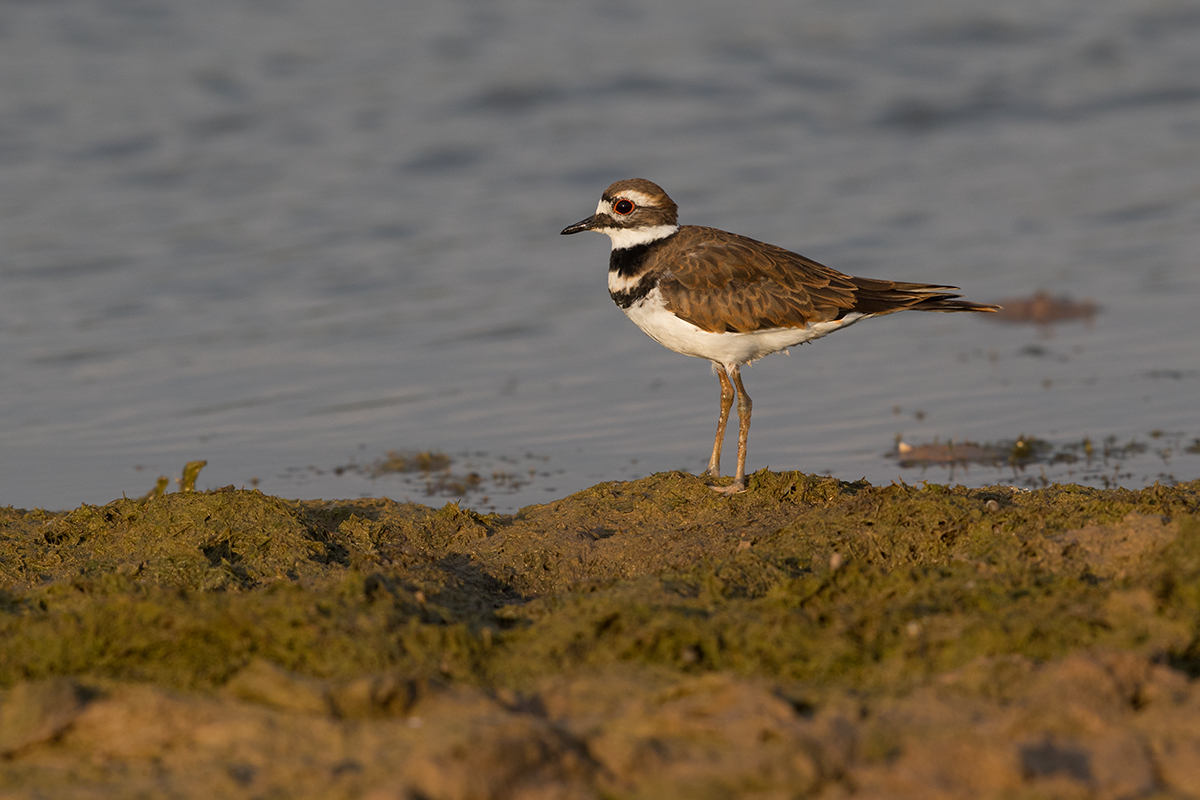 KILLDEER - TAYLOR COUNTY TX SEP, 2017