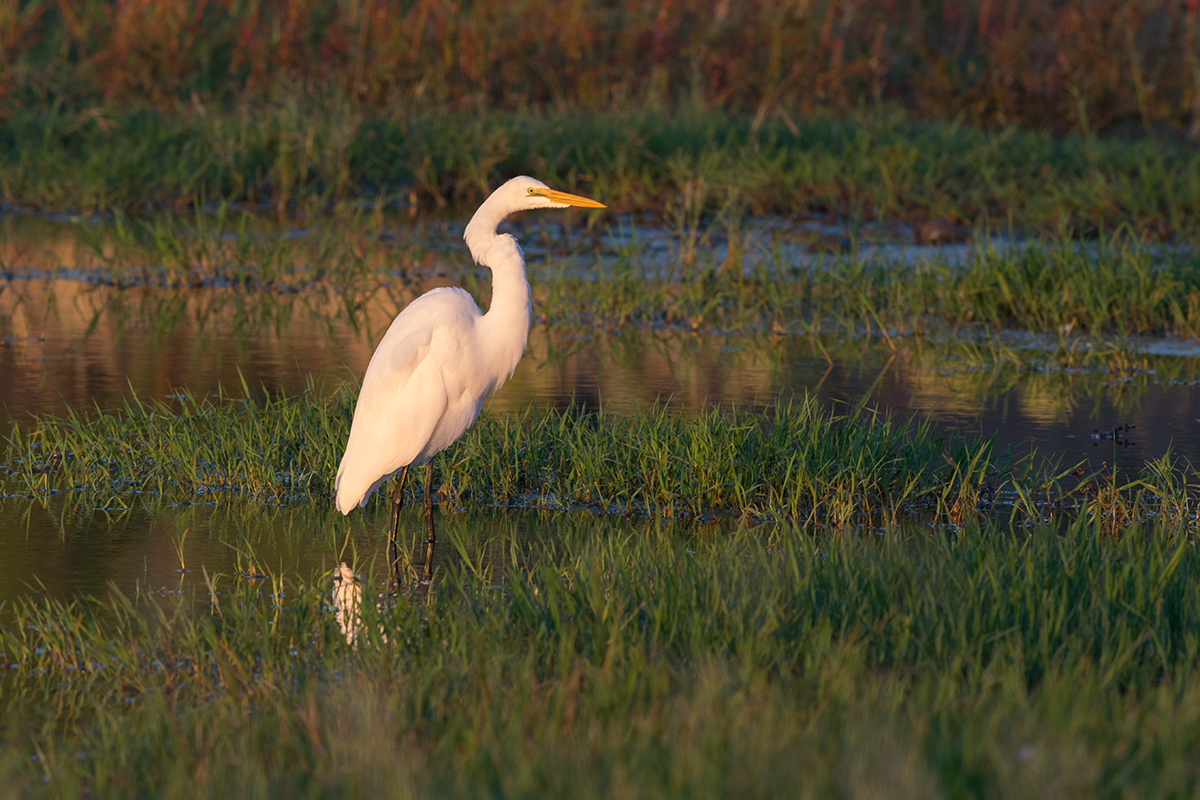 GREAT EGRET - TAYLOR COUNTY TX OCT, 2017
