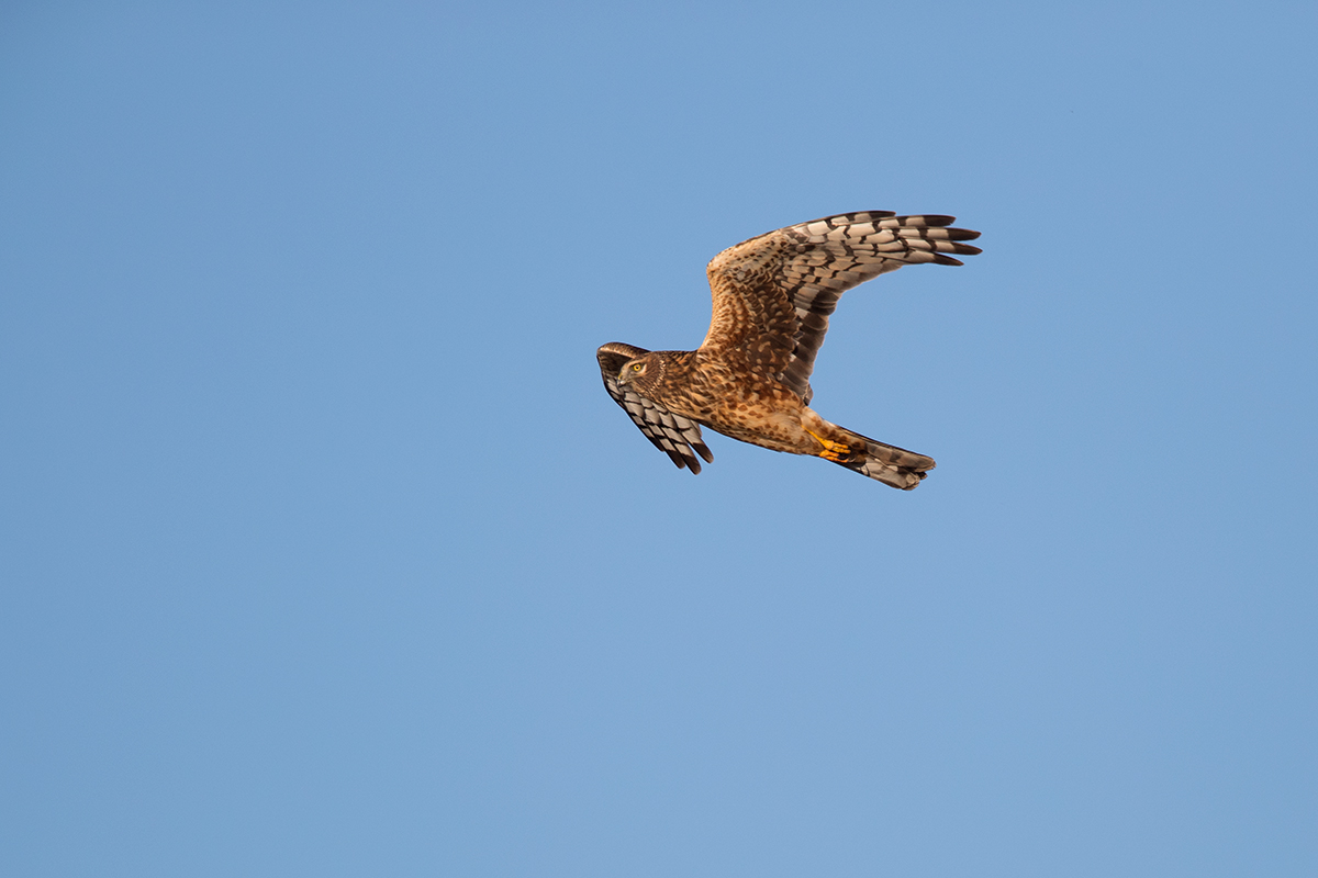 NORTHERN HARRIER - THROCKMORTON COUNTY TX DEC, 2017