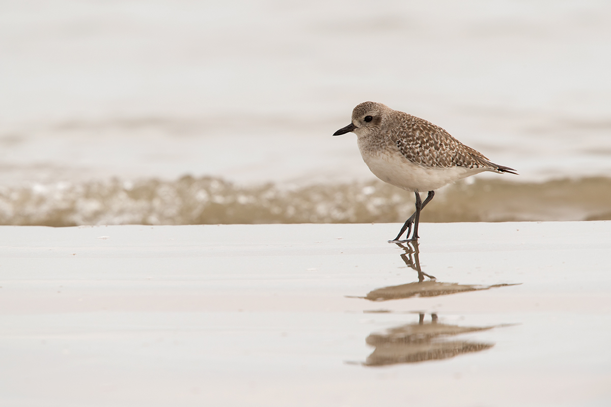 BLACK-BELLIED PLOVER - GALVESTON COUNTY TX DEC, 2017