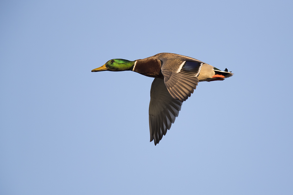 MALLARD - TAYLOR COUNTY TX FEB, 2018