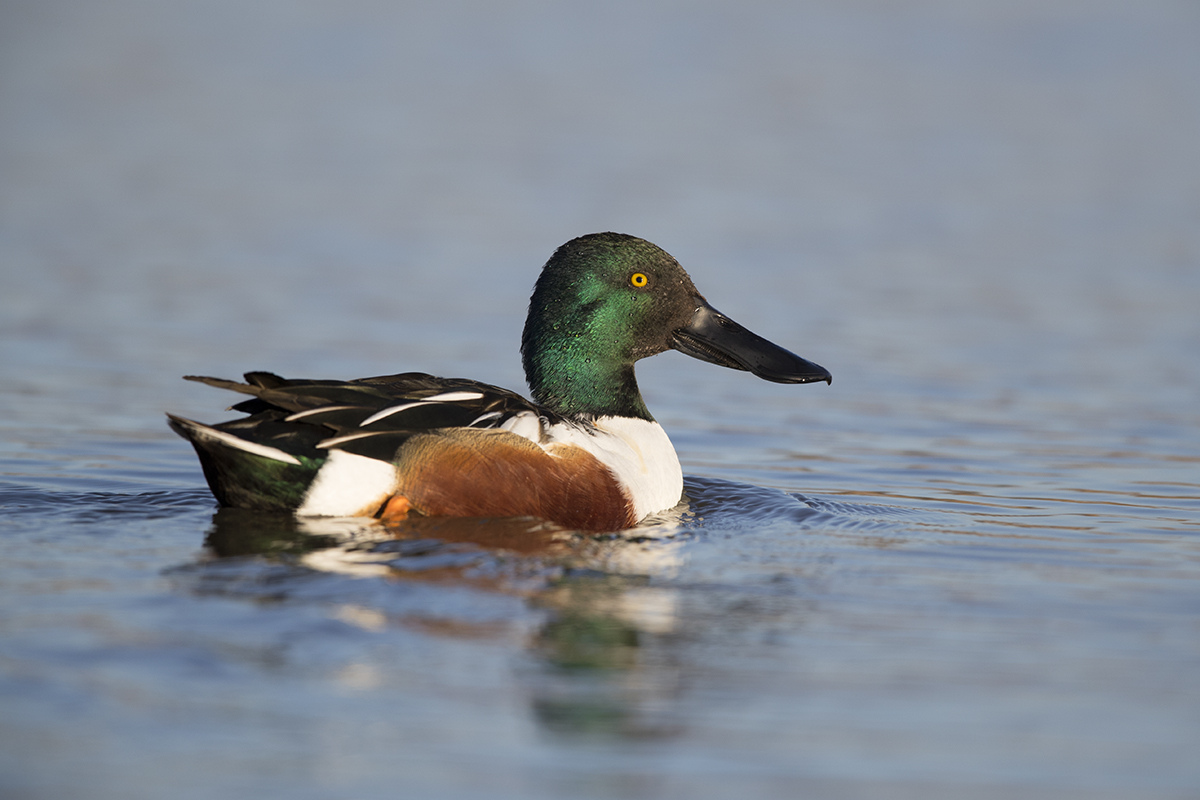 NORTHERN SHOVELER - TAYLOR COUNTY TX FEB, 2018