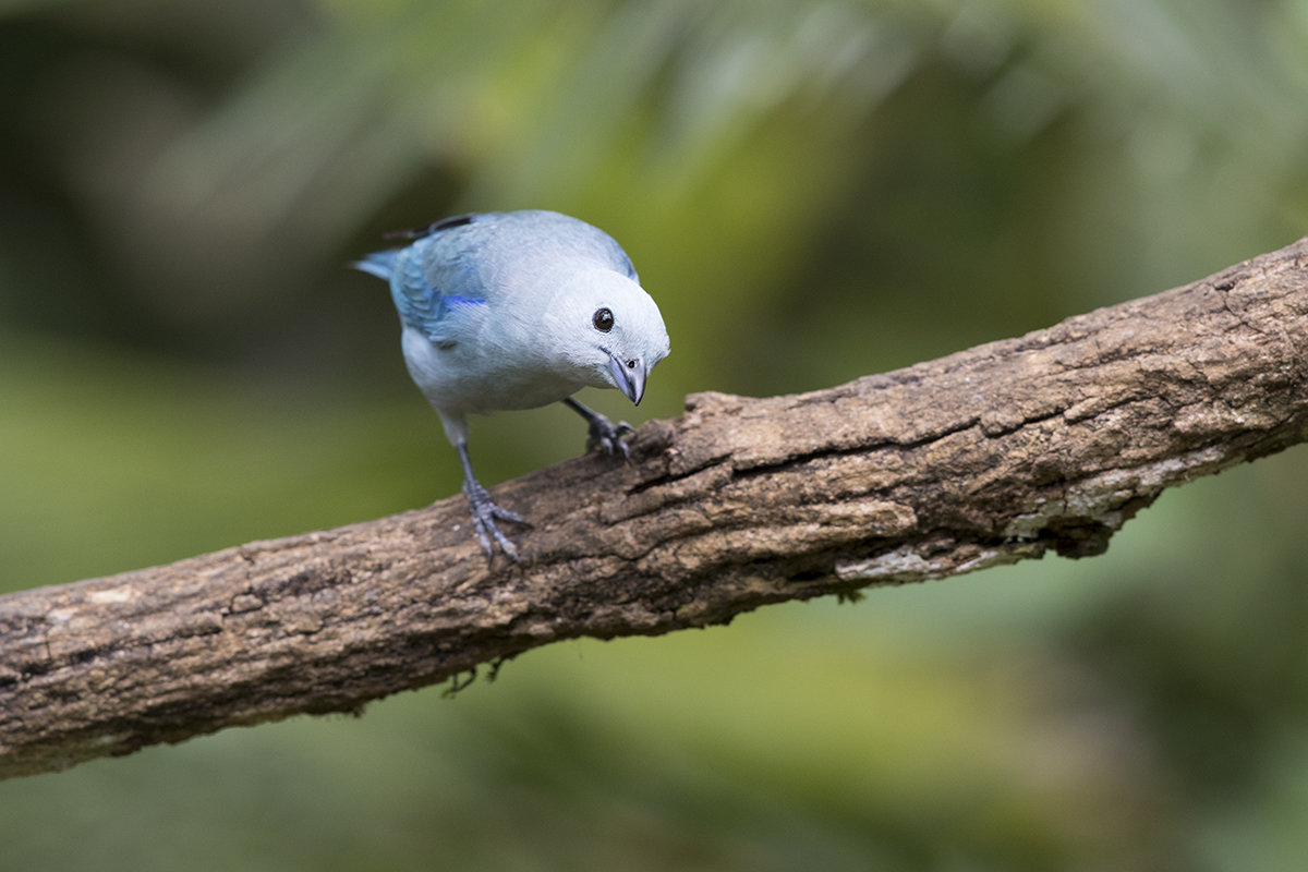 BLUE-GRAY TANAGER - COSTA RICA FEB, 2018