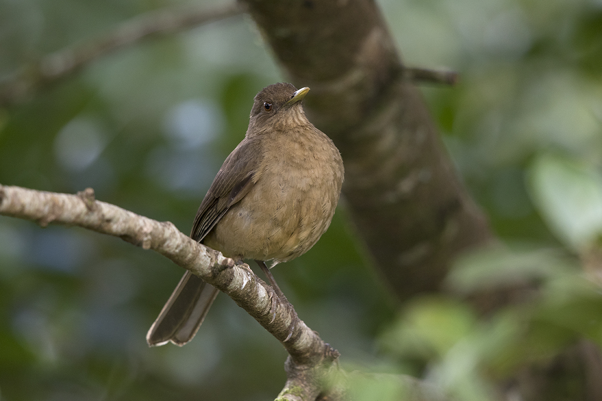 CLAY-COLORED THRUSH - COSTA RICA FEB, 2018