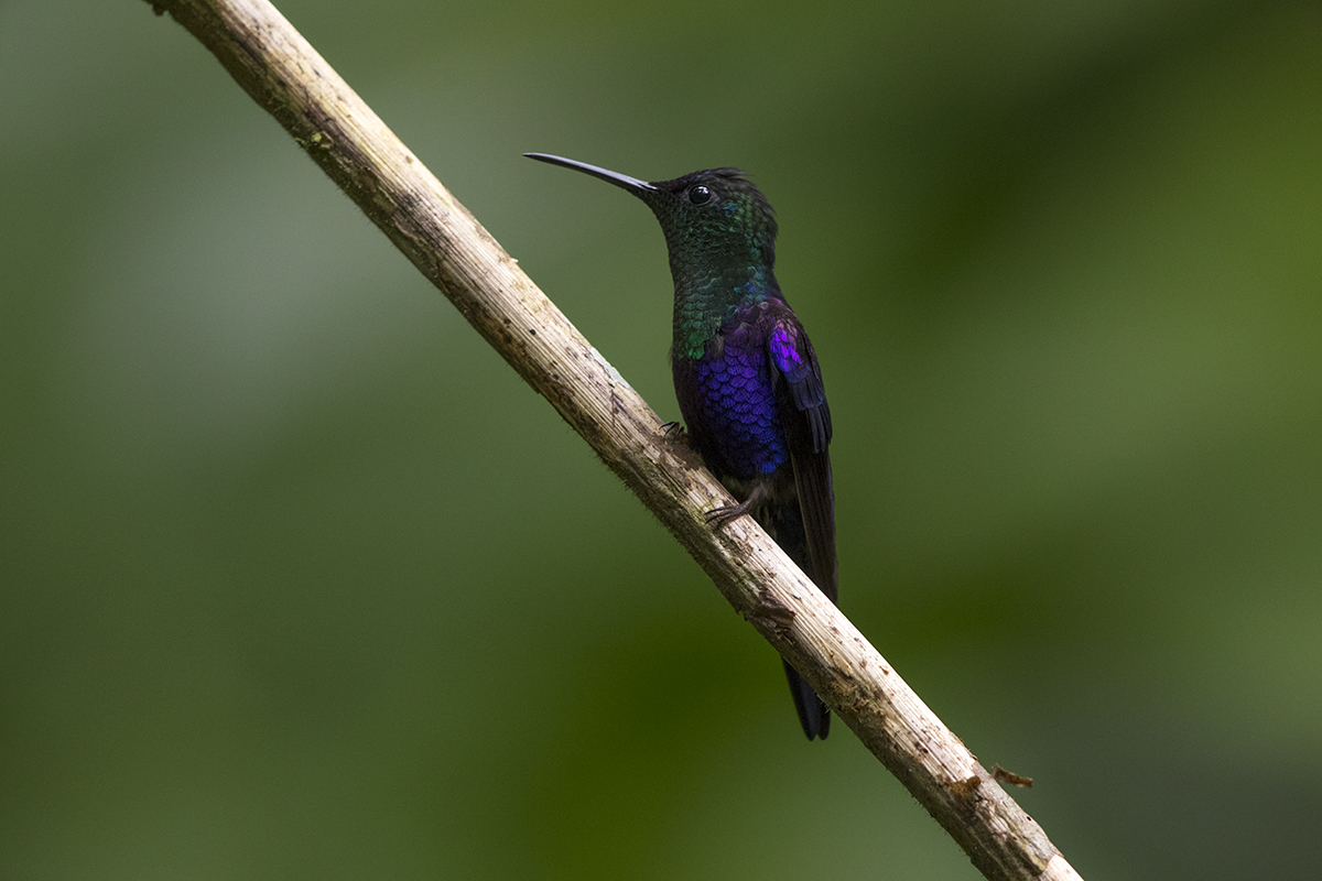 VIOLET-CROWNED WOODNYMPH - COSTA RICA FEB, 2018