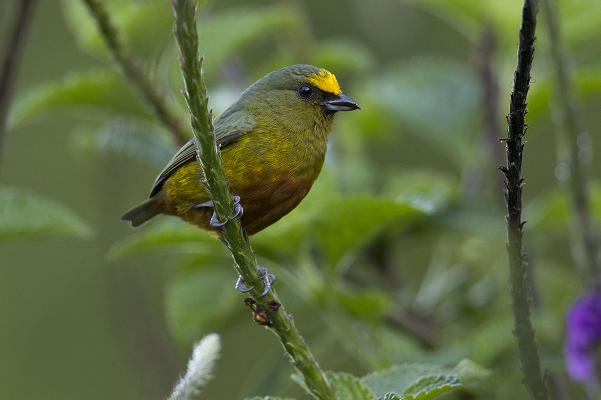 OLIVE-BACKED EUPHONIA - COSTA RICA FEB, 2018