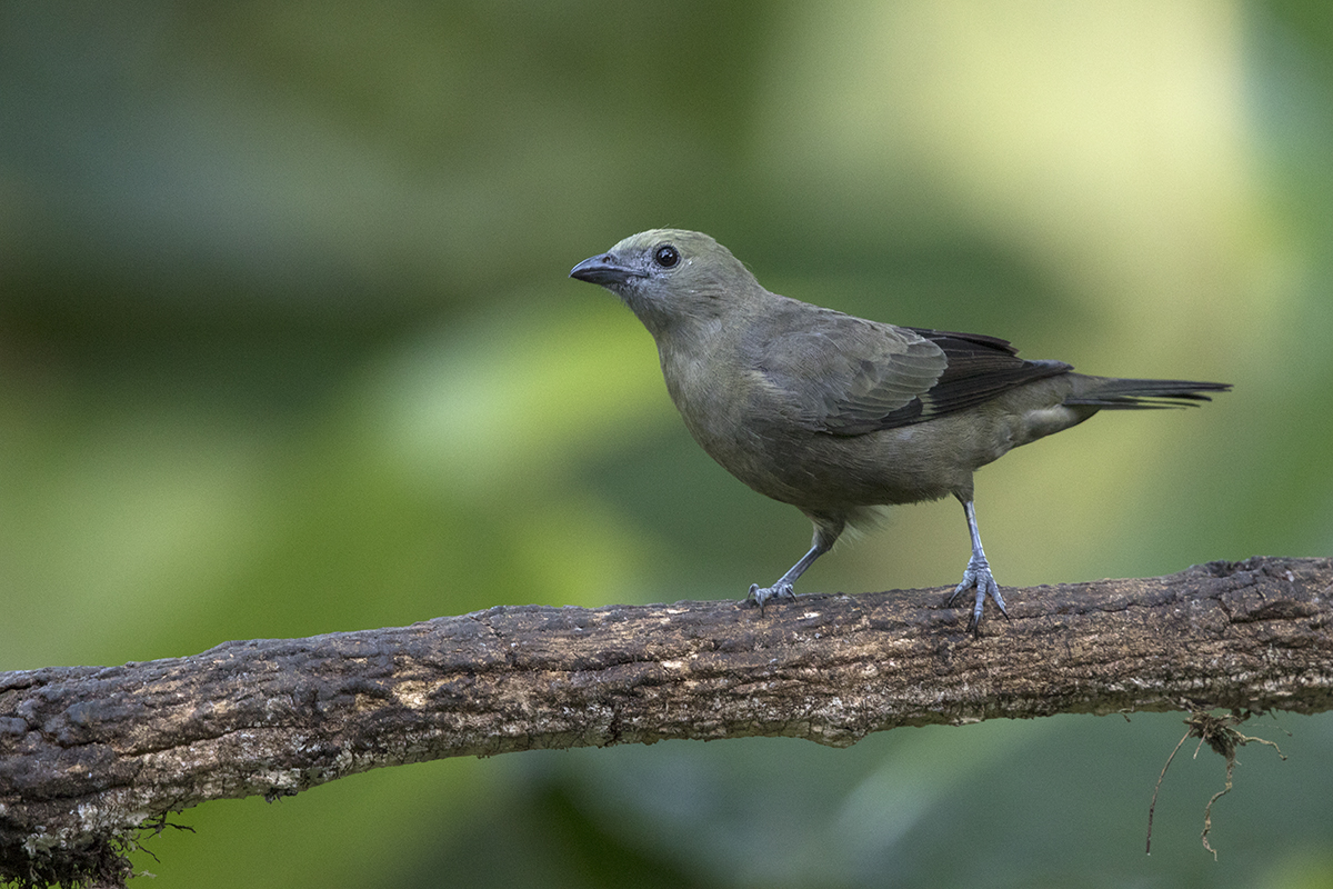 PALM TANAGER - COSTA RICA FEB, 2018