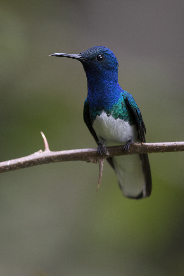 WHITE-NECKED JACOBIN - COSTA RICA FEB, 2018