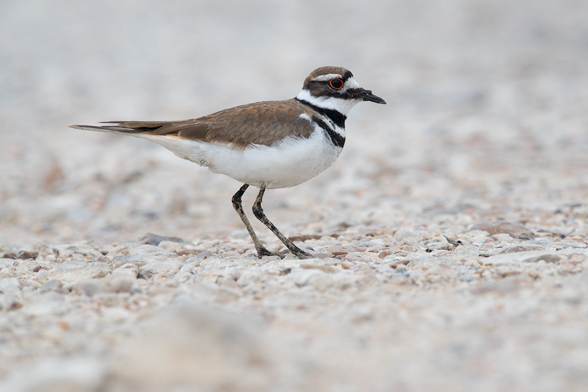 KILLDEER - AUSTIN COUNTY TX MARCH 2018
