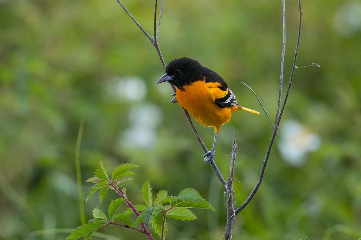BALTIMORE ORIOLE - GALVESTON COUNTY TX APRIL, 2018