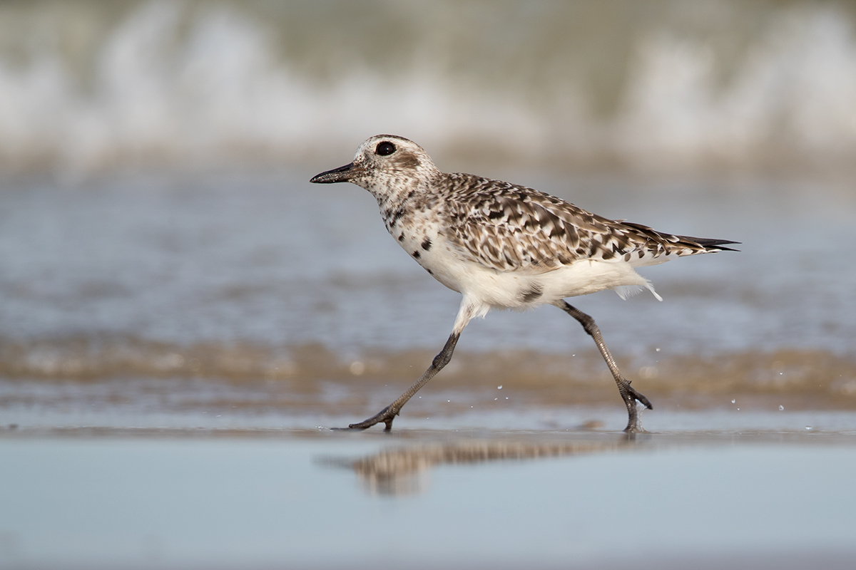 BLACK-BELLIED PLOVER - GALVESTON COUNTY TX APRIL, 2018
