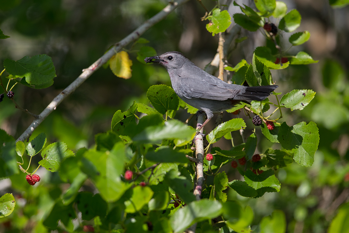 GRAY CATBIRD - GALVESTON COUNTY TX APRIL, 2018