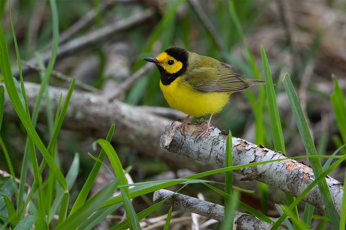 HOODED WARBLER - GALVESTON COUNTY TX APRIL, 2018