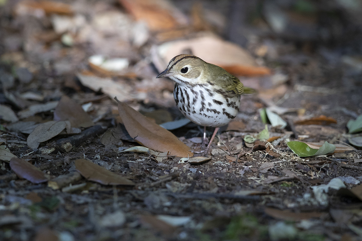 OVENBIRD - GALVESTON COUNTY TX APRIL, 2018