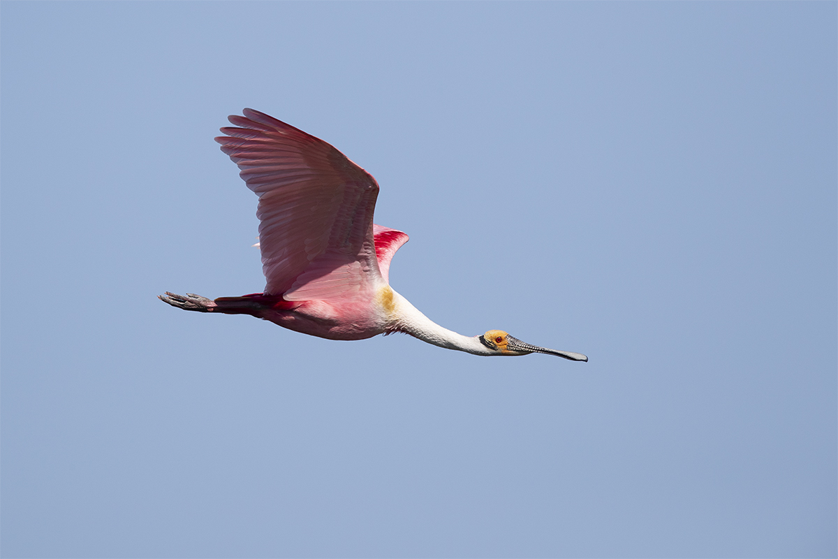 ROSEATE SPOONBILL - GALVESTON COUNTY TX APRIL, 2018