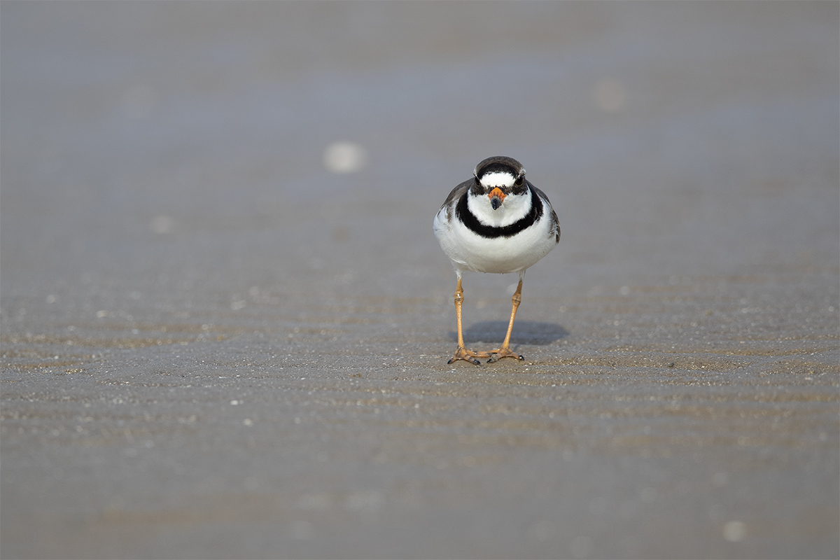 SEMIPALMATED PLOVER - GALVESTON COUNTY TX APRIL, 2018