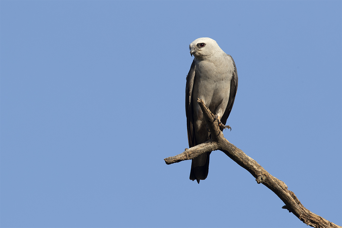 MISSISSIPPI KITE - TAYLOR COUNTY TX JULY, 2018