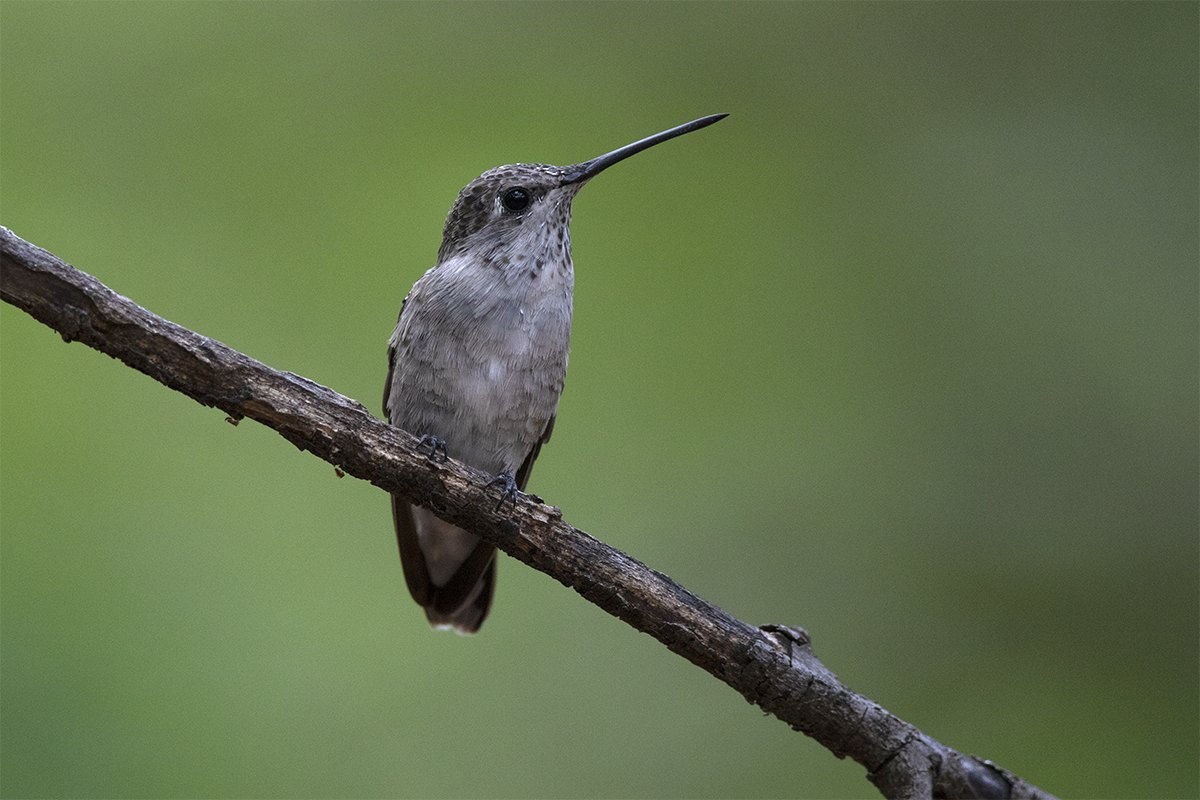 BLACK-CHINNED HUMMINGBIRD - TAYLOR COUNTY TX JULY, 2018