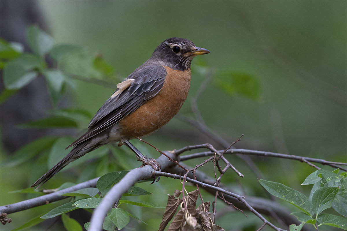 AMERICAN ROBIN - TAYLOR COUNTY TX JULY, 2018