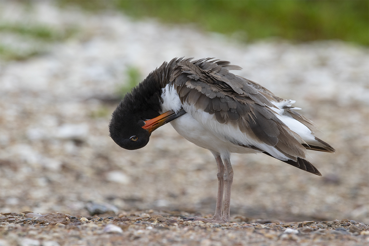 AMERICAN OYSTERCATCHER - GALVESTON COUNTY TX SEPTEMBER, 2018