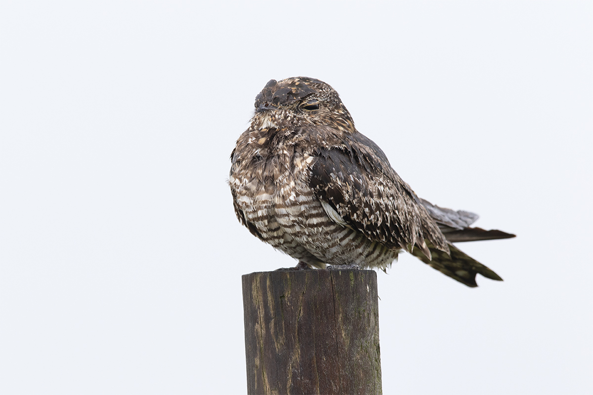 COMMON NIGHTHAWK - GALVESTON COUNTY TX SEPTEMBER, 2018
