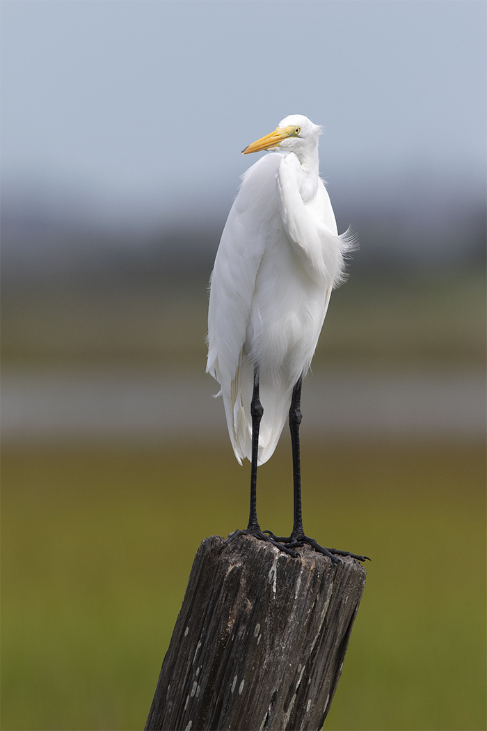 GREAT EGRET - GALVESTON COUNTY TX SEPTEMBER, 2018