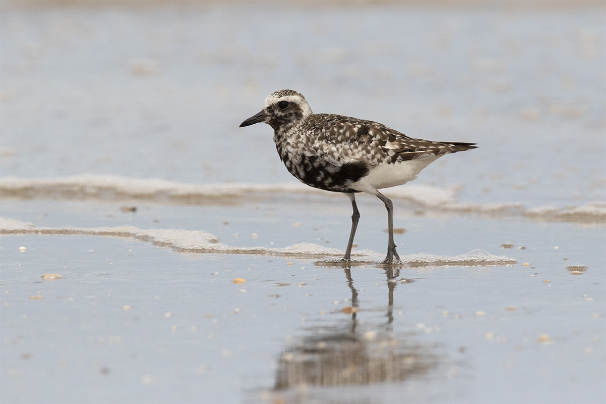 BLACK-BELLIED PLOVER - GALVESTON COUNTY TX SEPTEMBER, 2018