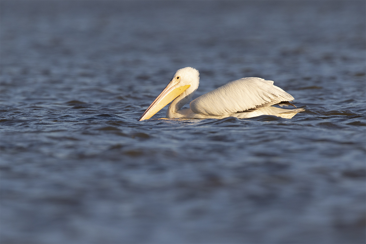 AMERICAN WHITE PELICAN - Grayson County Tx November 2018