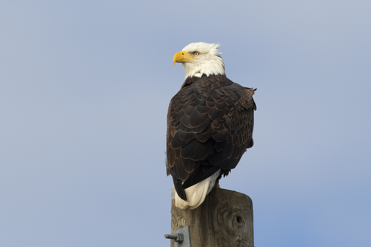BALD EAGLE - Grayson County Tx November 2018