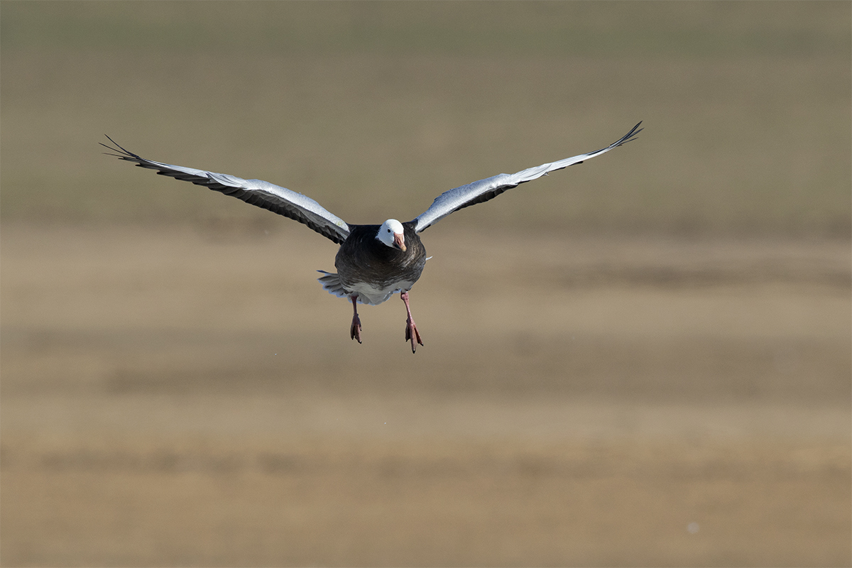 SNOW GOOSE - Grayson County Tx November 2018
