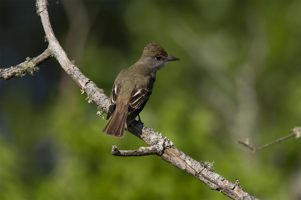 GREAT CRESTED FLYCATCHER - GALVESTON COUNTY TX APRIL, 2019