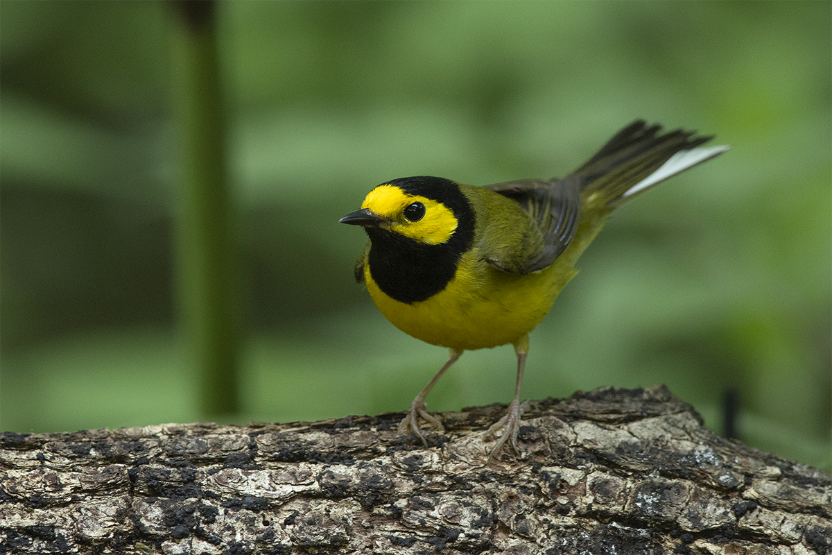 HOODED WARBLER - GALVESTON COUNTY TX APRIL, 2019