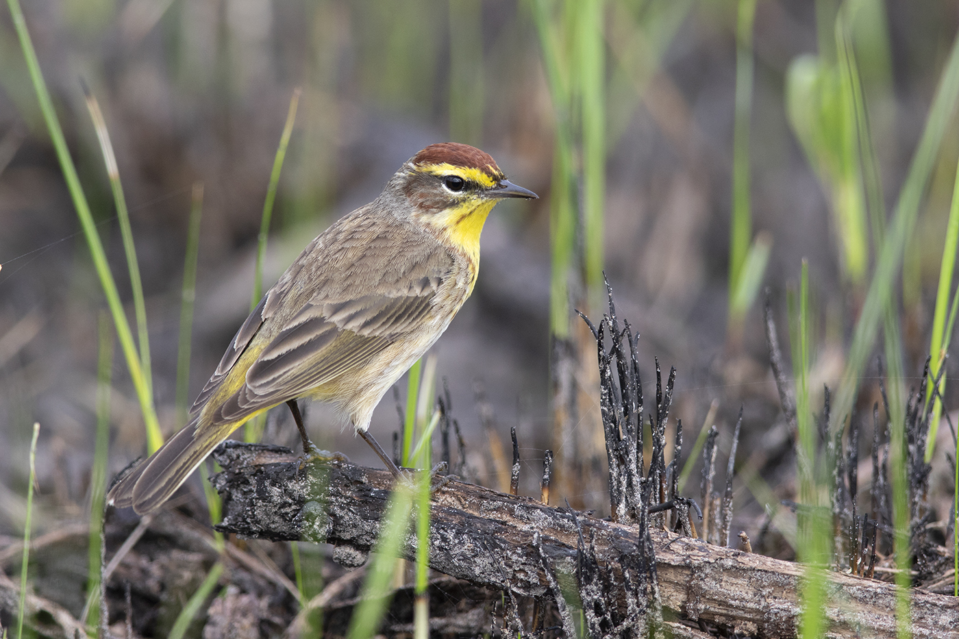 PALM WARBLER - GALVESTON COUNTY TX APRIL, 2019