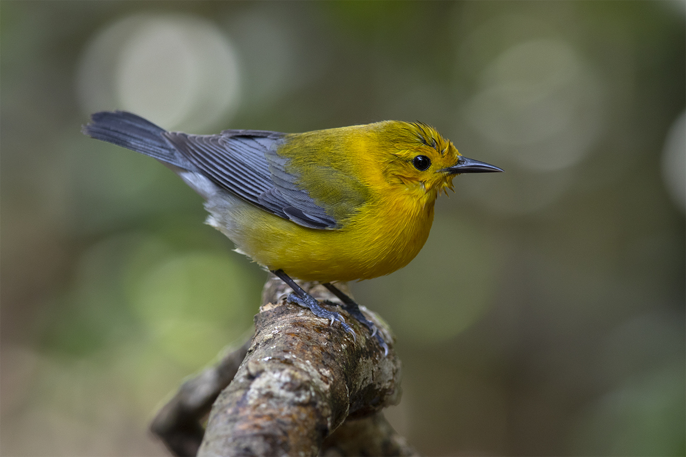 PROTHONOTARY WARBLER - GALVESTON COUNTY TX APRIL, 2019