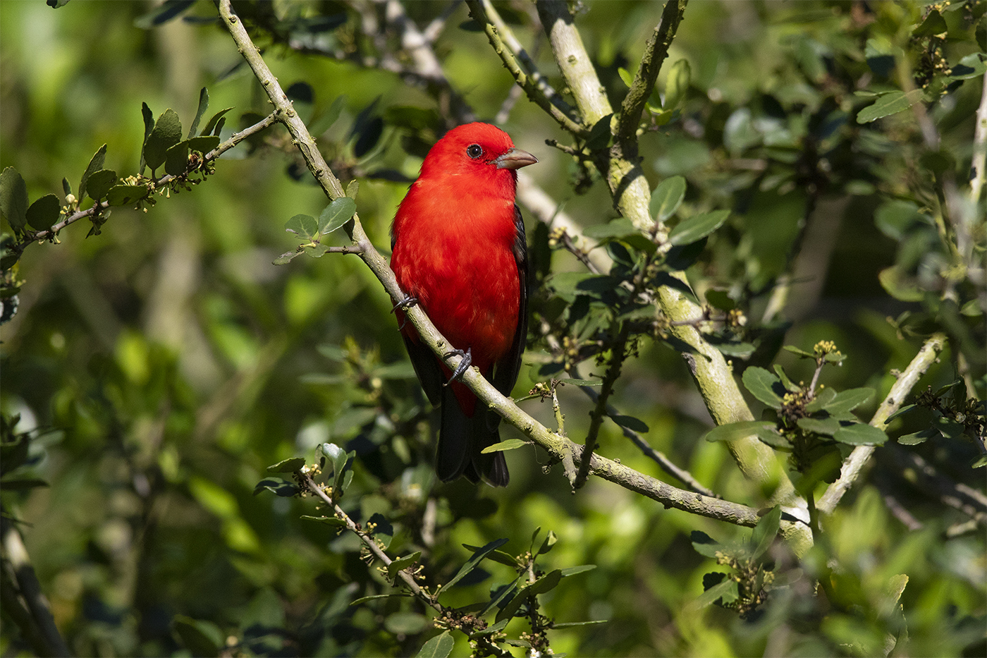 SCARLET TANAGER - GALVESTON COUNTY TX APRIL, 2019