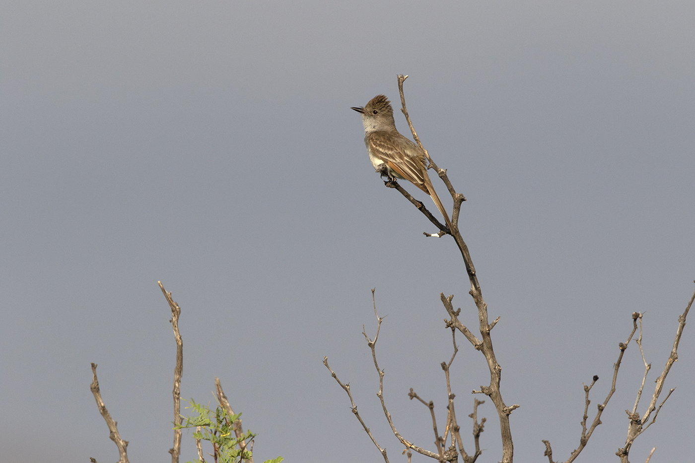 ASH-THROATED FLYCATCHER - BREWSTER COUNTY TX MAY 2019