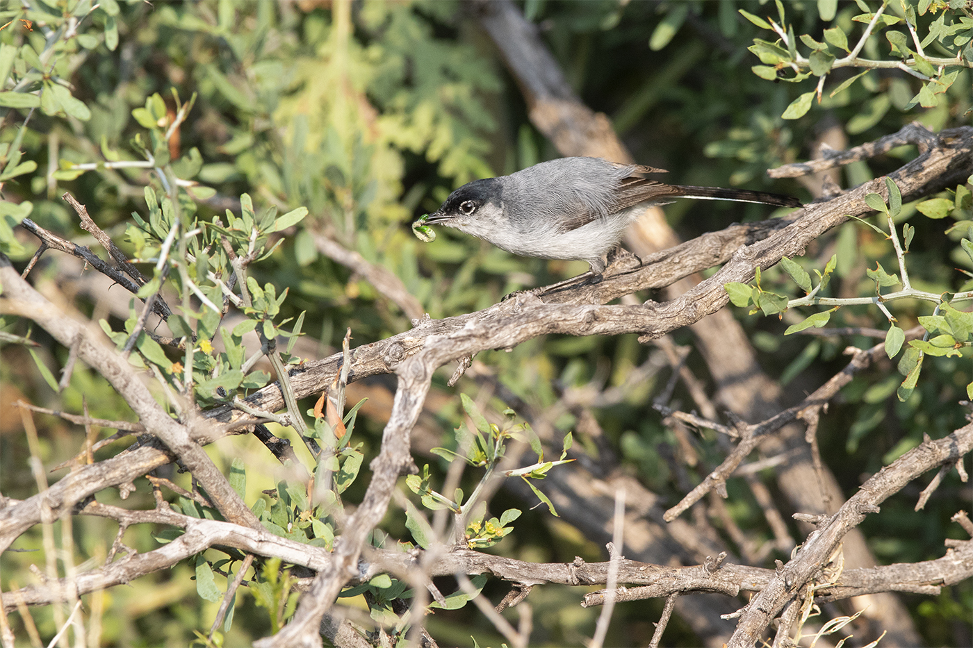 BLACK-TAILED GNATCATCHER - BREWSTER COUNTY TX MAY 2019