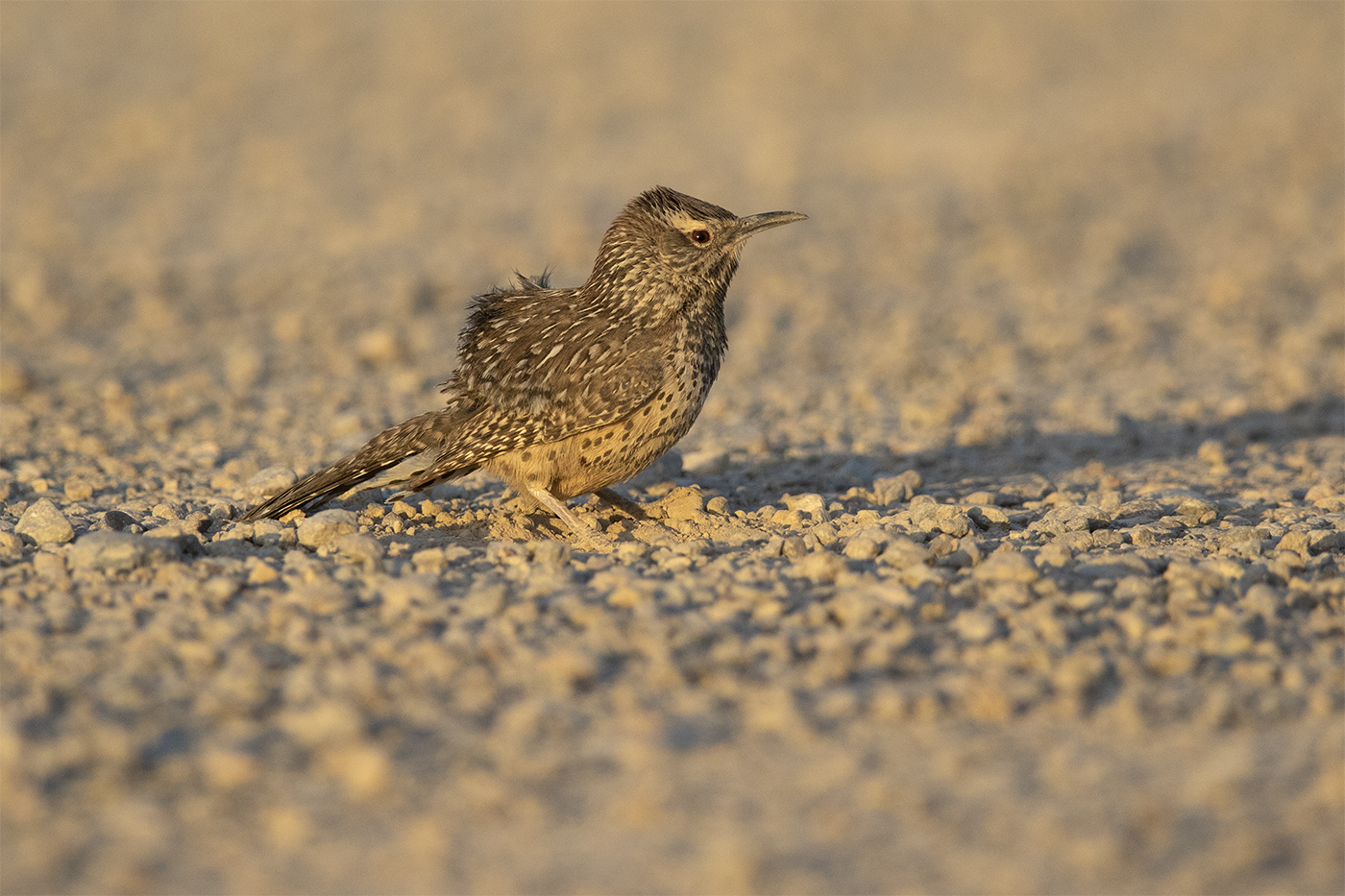 CACTUS WREN - BREWSTER COUNTY TX, JUNE 2019