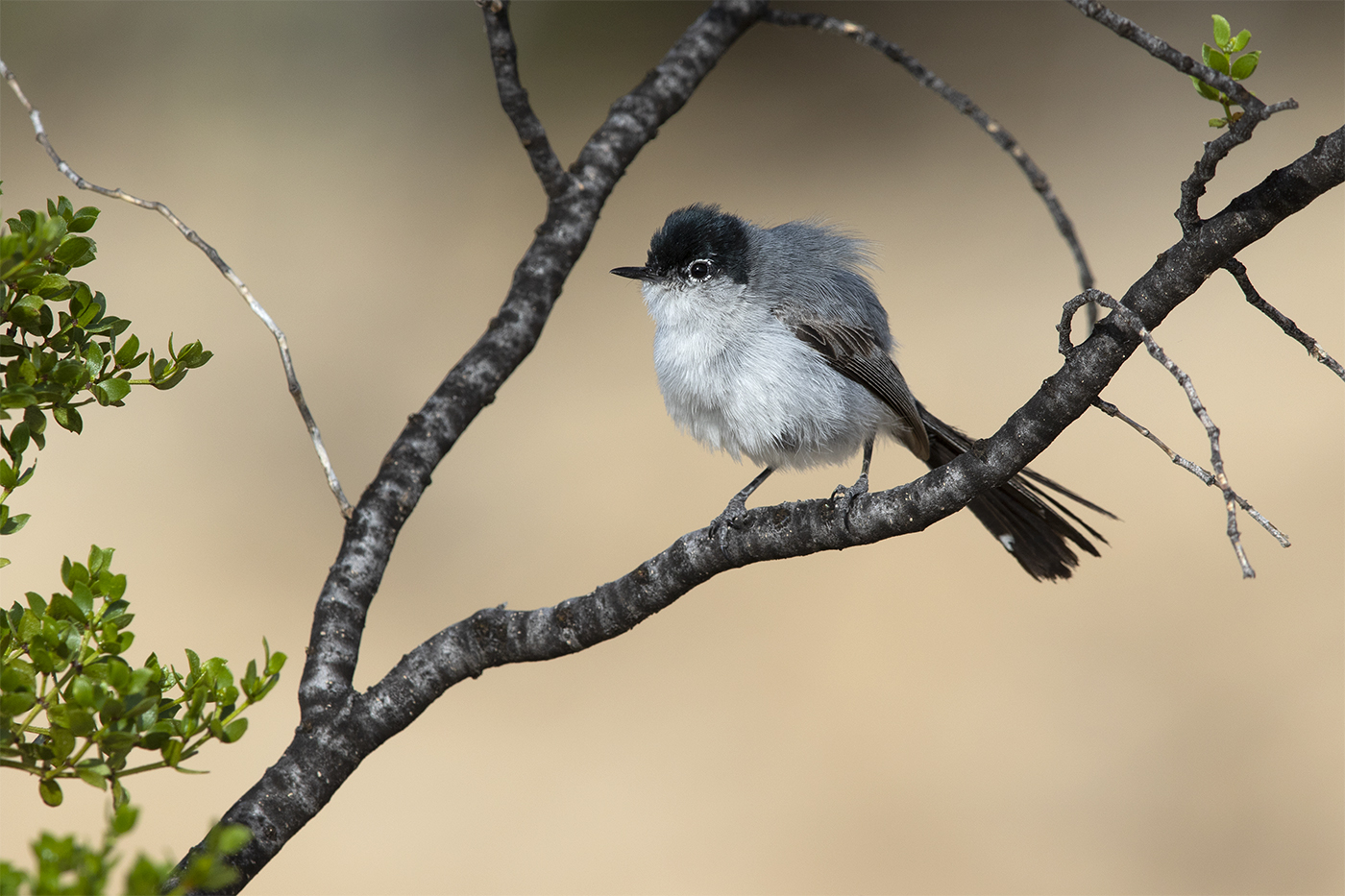 BLACK-TAILED GNATCATCHER - BREWSTER COUNTY TX , JULY 2019