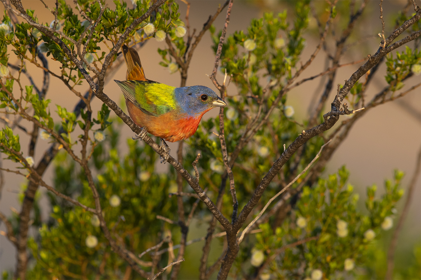 PAINTED BUNTING - BREWSTER COUNTY TX , JULY 2019