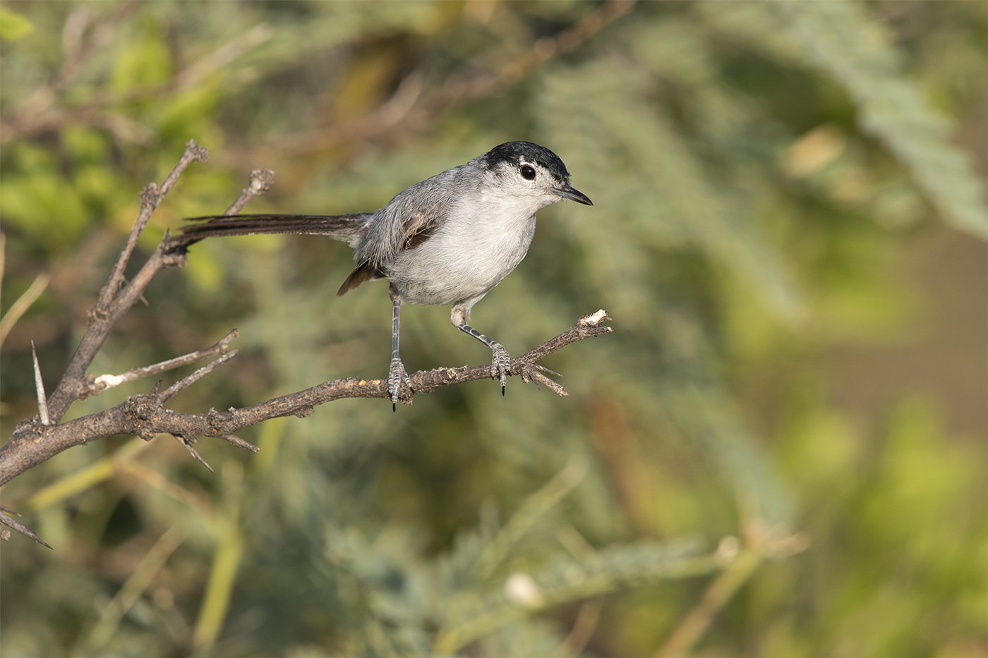 BLACK-TAILED GNATCATCHER - BREWSTER COUNTY TX , AUGUST 2019