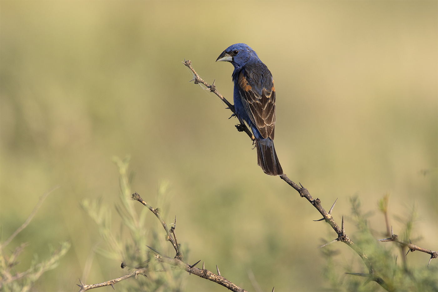 BLUE GROSBEAK - BREWSTER COUNTY TX , AUGUST 2019